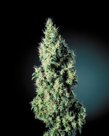 marleys-collie-sensi-seeds-4-103-p