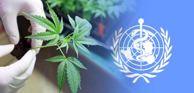 Pasaulio sveikatos organizacija (PSO) oficialiai įvertins kanapių medicininę vertę